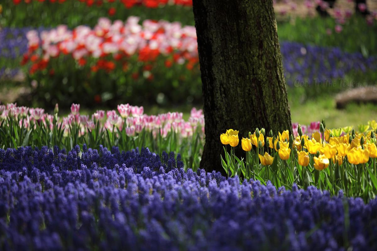 tulip427-2.jpg