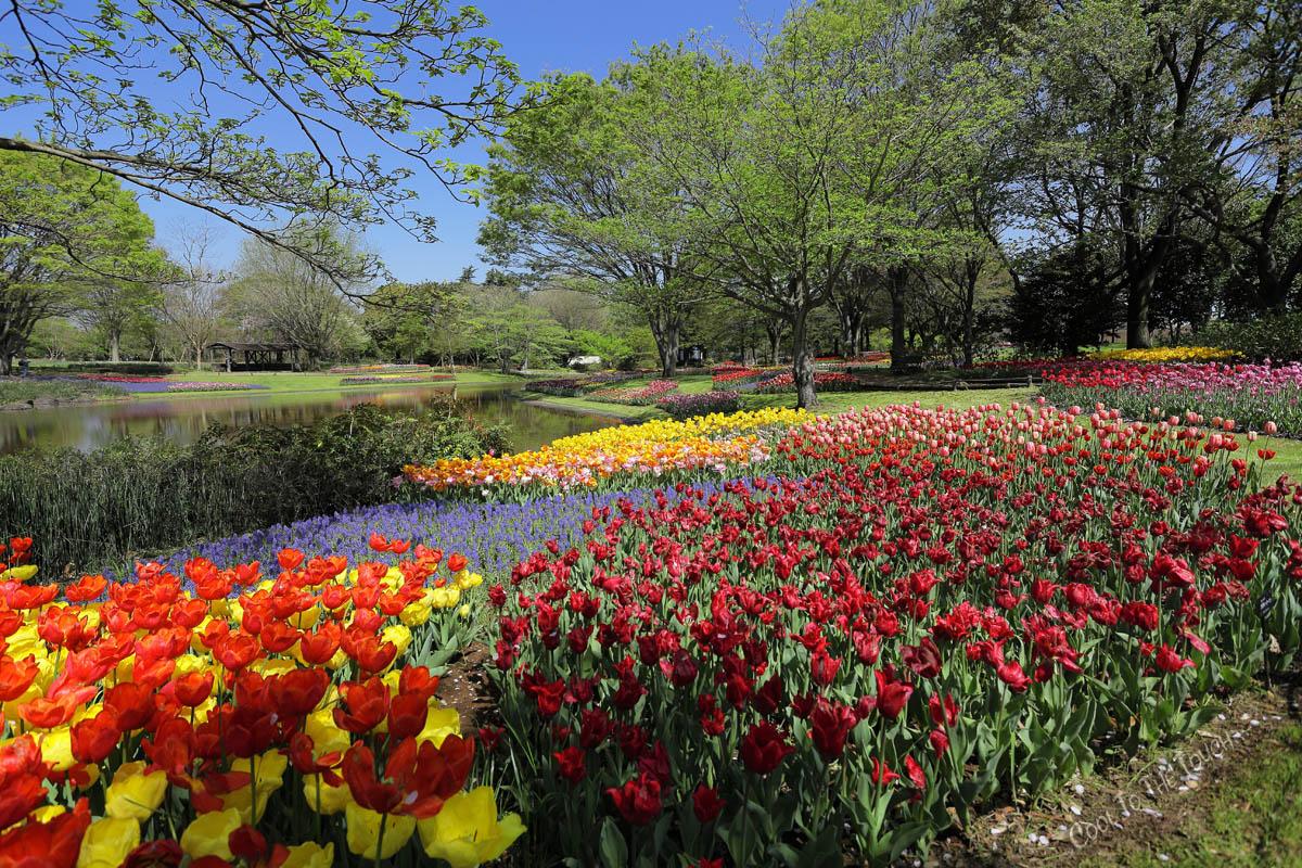 tulip427-4.jpg