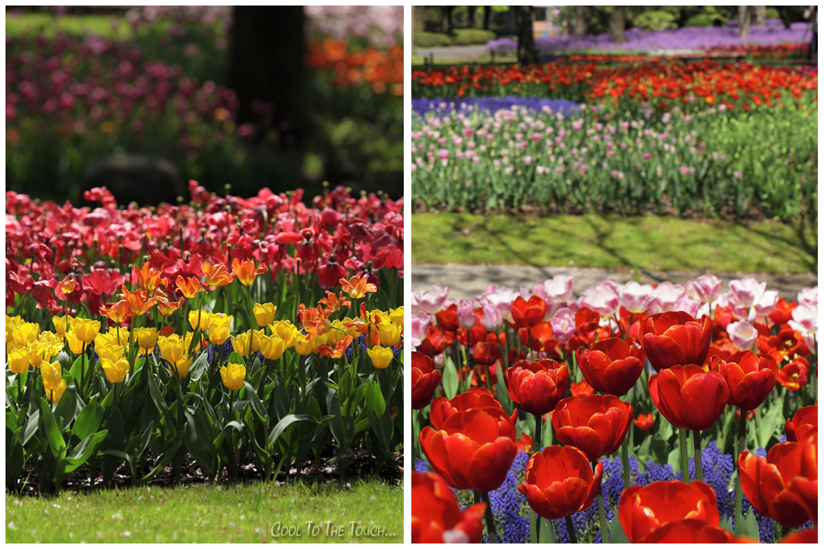 tulip427-5.jpg