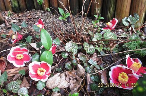 庭の山野草3-1 002-001
