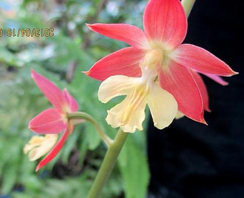 庭の山野草 006-002