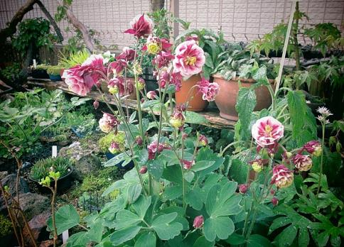 庭の山野草 017-001