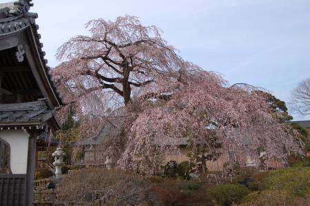 安国寺の枝垂桜1