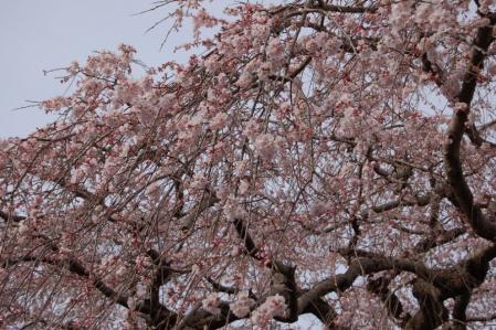 安国寺の枝垂桜2