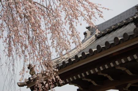 安国寺の枝垂桜3