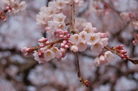 安国寺の枝垂桜4