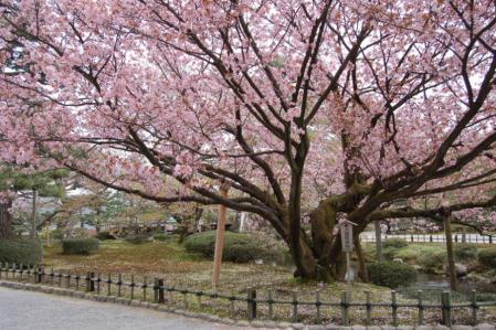 34兼六園・熊谷桜