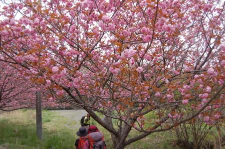 43下山・八重桜