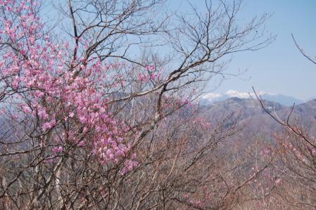 17夕日岳へ・アカヤシオ