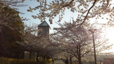 首都大学の桜