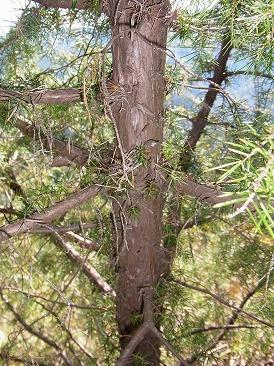 ネズの樹皮