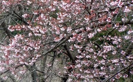 桜が咲いていました@横松郷