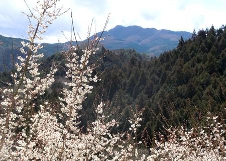日当たりのよい斜面は梅は満開