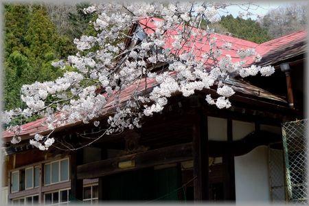 南川小学校と桜