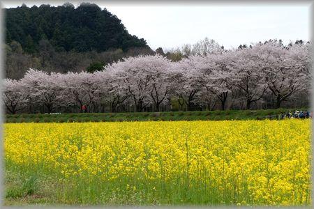 巾着田の桜と菜の花