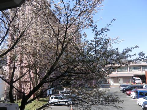 学校玄関横の桜①