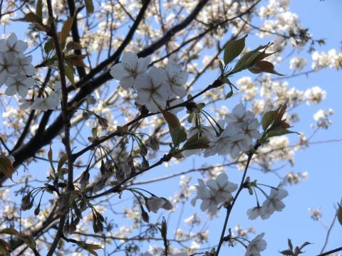 学校玄関横の桜②
