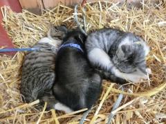 子猫とミニブタ