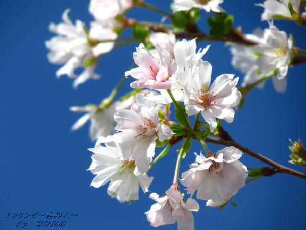 0206青空に十月桜111001