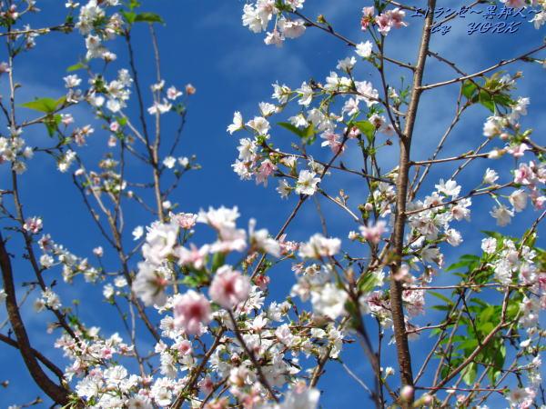 0205青空と十月桜111001