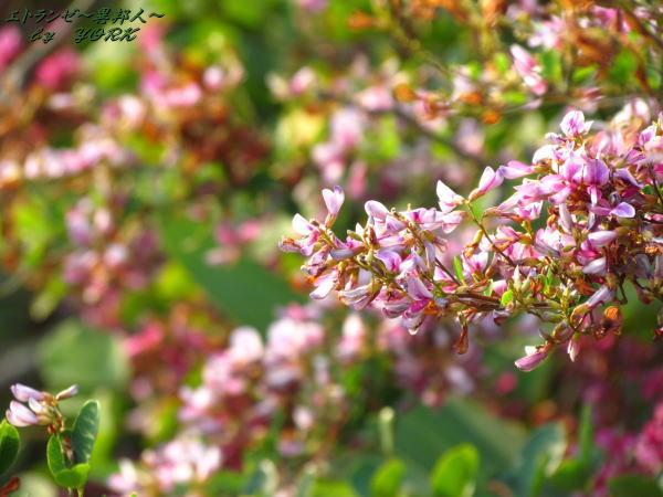 0359萩の花111009