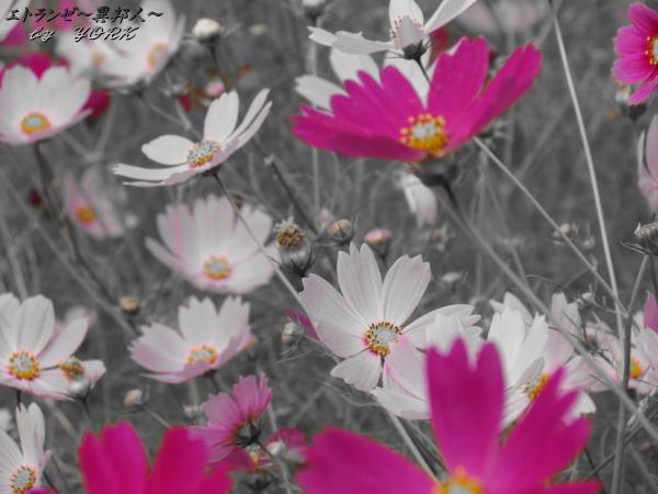 0244一色秋桜111002