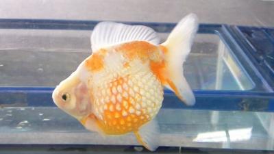 s-金-親魚珍珠鱗