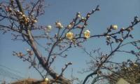 H250317小梅開花