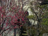 H250326紅梅白梅三部咲き