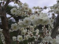 H250330白梅開花