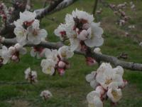 H250330信州大実の花