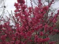 H250330紅梅開花