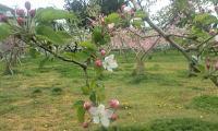 H250420プルーン、リンゴ、モモの花盛り