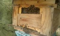 H250423分蜂ミツバチ見逃し