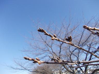 桜のつぼみ。