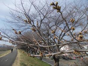 桜のつぼみその後。