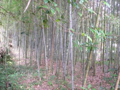 以前に比べ、明るくきれいになって生まれ変わった竹薮