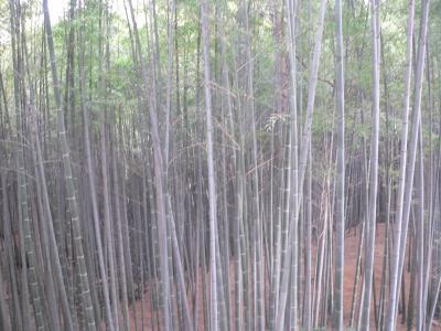 今年、初詣に行った岩清水八幡宮の竹林