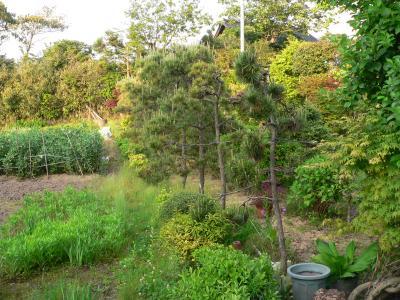 母親の指示のもと、佐渡屋太郎に枝打ちされた松の木たち