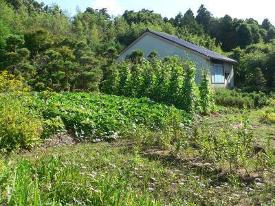 畑の家の横に並んで植えられた松の木の列