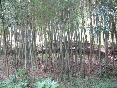 整備途中の我が家の竹薮