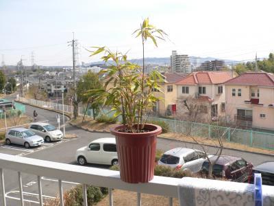佐渡の竹薮から苗を持ってきて鉢上げした竹の鉢植え