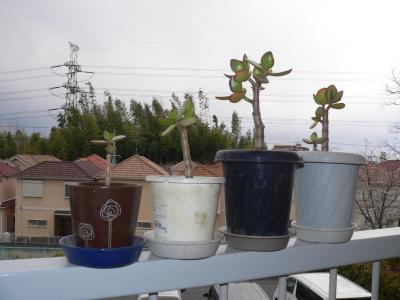 """""""大手術""""を終えて4つの鉢に植え替えられた「金のなる木」たち"""