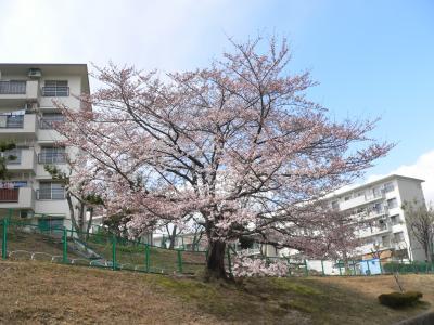 いつもの散歩道にある見事な桜