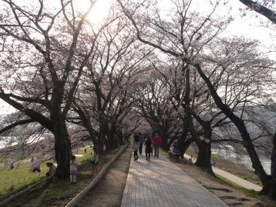 1.4kmの堤防に249本が植えられた「背割堤」の桜のトンネル