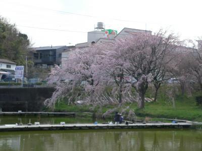 見事なしだれ桜の下で釣りを楽しむ親子