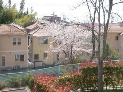 春の温かい日差しを受けて満開のときを迎えた桜の木
