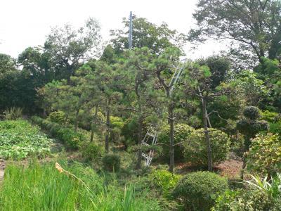 昨年の夏に汗まみれになって整枝した松の木