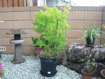 昨年の夏に大きな鉢に植え替えてきたモミジ(大)