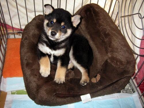 黒柴犬の仔犬